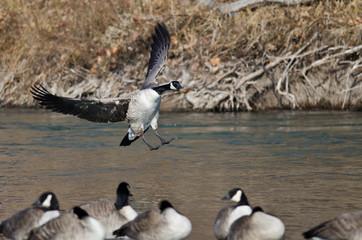 Canada Goose Landing In a Winter River