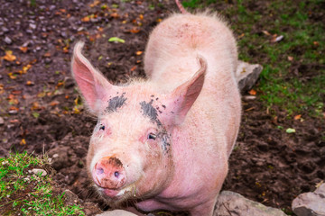Pink pig on irish farm