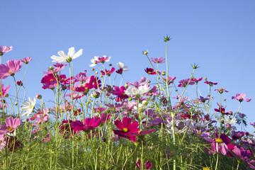 field of pink cosmos flower