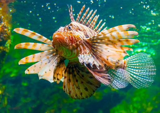a lion fish in the famous aquarium of Barcelona in Spain
