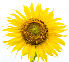 Closeup sunFlower on white background.