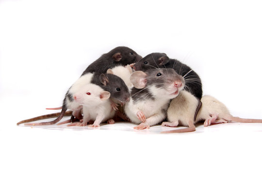 Baby rats climbing on mother rat