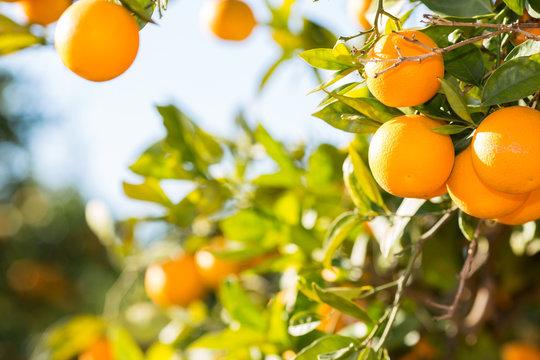 Valencia orange trees