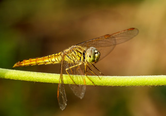 Dragonflies in Nature
