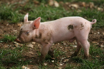 Piglet playing in the mud