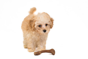 Poodle puppy with her toy bone