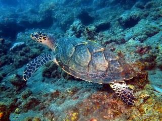 Sea turtle, Island Bali, Tulamben