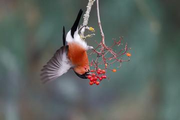 Fotoväggar - Bullfinch, Pyrrhula pyrrhula