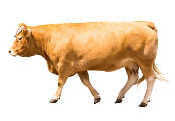 Walking cow