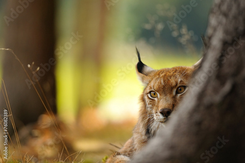 Wall mural Eurasian lynx
