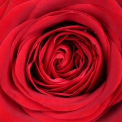 Nahaufnahme Blüte rote Rose zum Valentinstag, Muttertag oder Ge