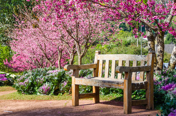 Wood bench with Sakura blossom background