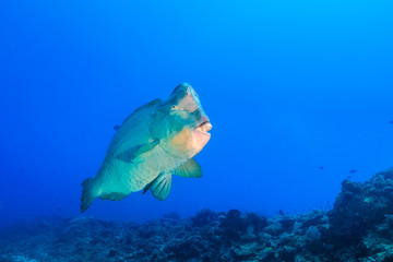 Bumphead Parrotfish in blue water