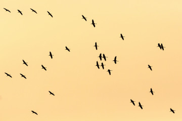 Flock of cranes at dawn