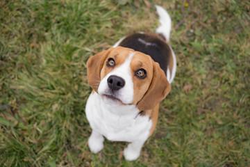Waiting for reward - Beagle dog