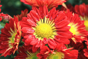 Chrysanthemum flowers and raindrop