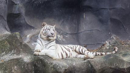 Foto op Plexiglas Tijger White Bengal Tiger lay down on the cliff