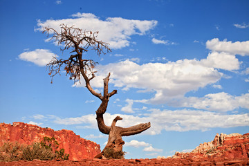 Tree in the red desret of Southwest USA, Capitol Reef  Park