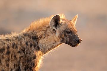 Spotted hyena portrait, Etosha National Park