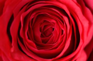 Closeup photo of a rose