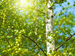 Green spring leaves and bright sun.