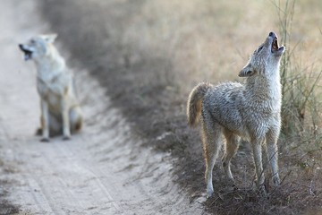 Jackals in Kanha National Park India