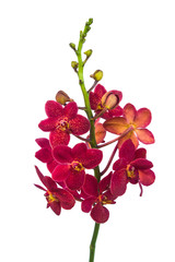 Red orchid on a white background