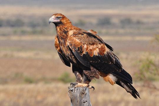 aigle royal australie 2