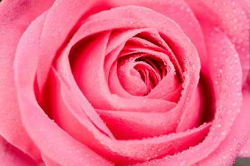 close up shot of beautiful pink rose on dark background