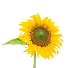 Sunflower plant on white background
