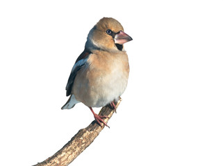 Hawfinch on white