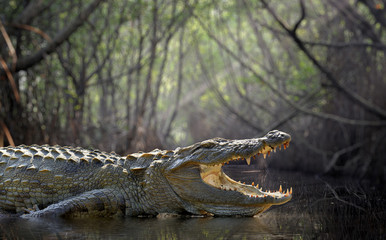 Photo sur Aluminium Crocodile Crocodile