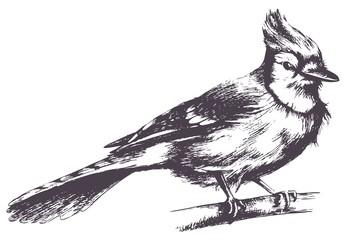 Jay bird vector sketch