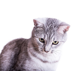 gray tabby striped cat