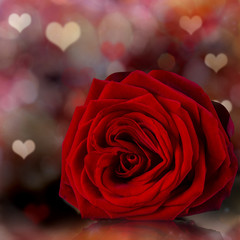 Red rose petal, Valentine's Day background.