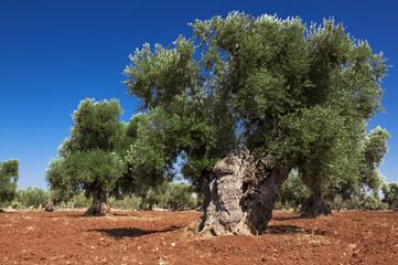 Immagini albero d'ulivo