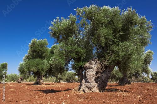 Pianta di olivo centenaria immagini e fotografie royalty for Acquisto piante olivo