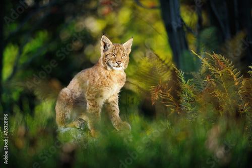 Wall mural Eurasian lynx in forest