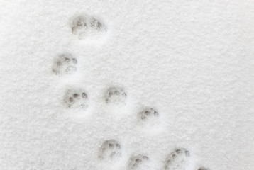 Сat footprints in the snow