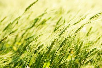 Background of fresh spring Green yellow wheat field ears close u