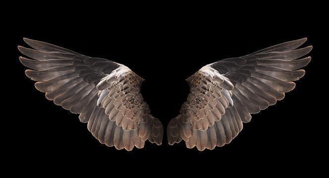 bird wing isolated on black background