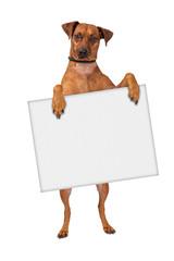 Fototapete - Pinscher Cross Dog Holding Sign