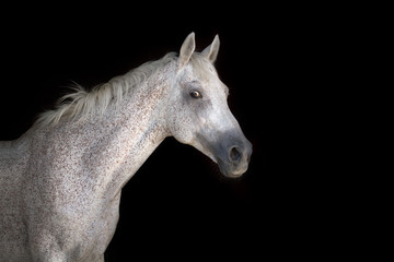 Grey horse portrait on the black background
