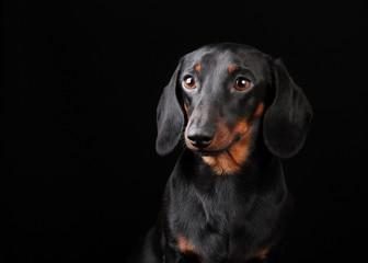 Puppy dachshund portrait in a dark studio
