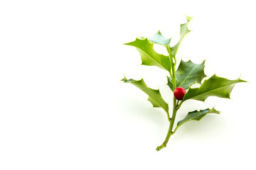 Christmas Holly, with bright red berrie in side right