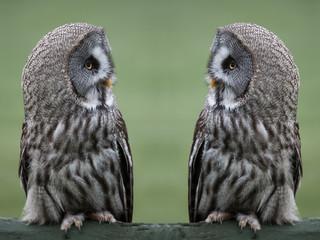 Great grey gray owls Fototapete