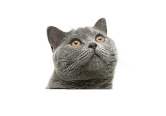 head of gray cat with yellow eyes isolated on a white background