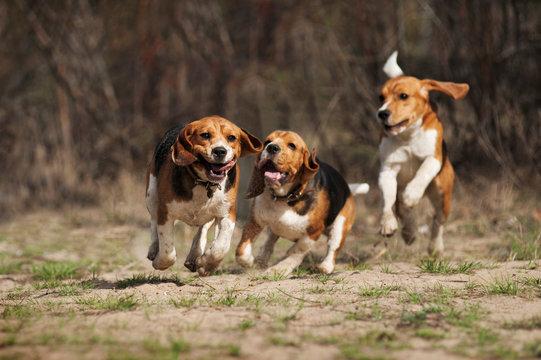 funny beagle dog running