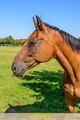 Schönes Holsteiner Pferd