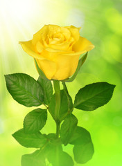 Yellow rose on green background